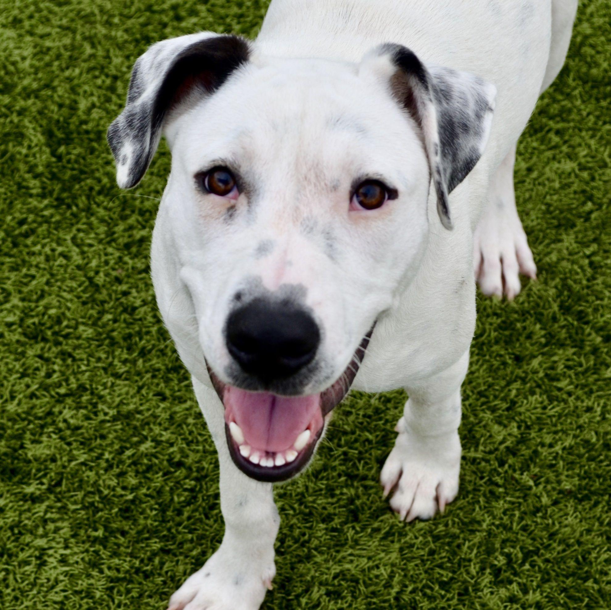Dalmatian dog for adoption in bryan tx adn529539 on