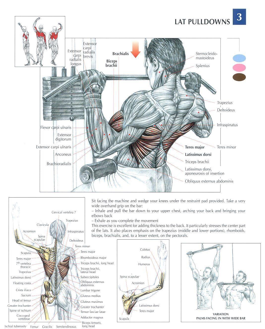 Lat Pulldown | Lamina Muscular | Pinterest | Ejercicios, Anatomía y ...