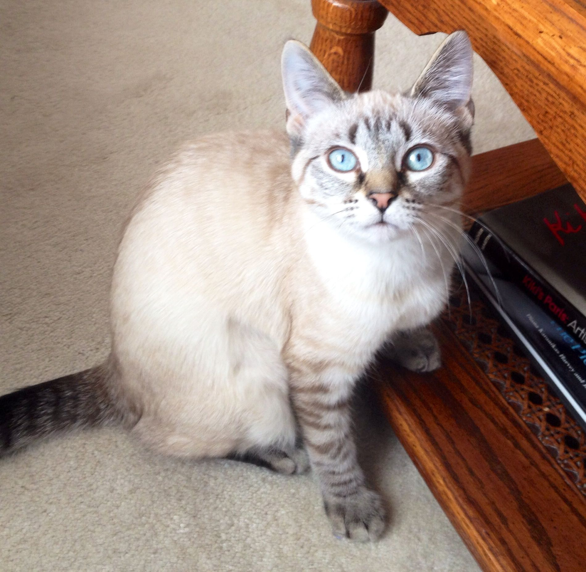 Miss Mimi Pretty Cats Cute Cats And Dogs Siamese Cats