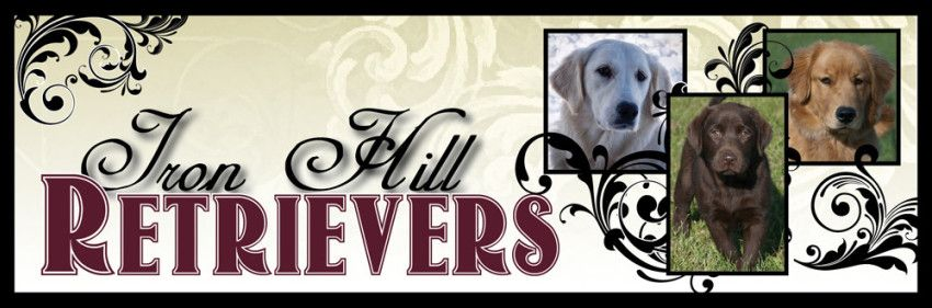 Welcome To Iron Hill Retrievers We Are A Small Breeder Of English