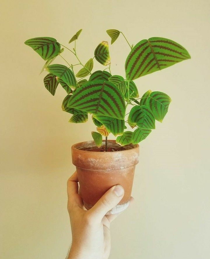 Christia obcordata pflanze meiner tr ume christia for Grune pflanzen fur innen