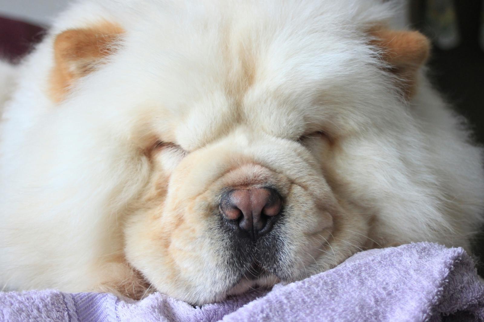 Rajapalayam Dog Wikipedia Gizmo Labrador Retriever For Adoption