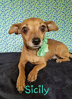Dachshund Chihuahua Mix Dog For Adoption In Pluckemin New Jersey