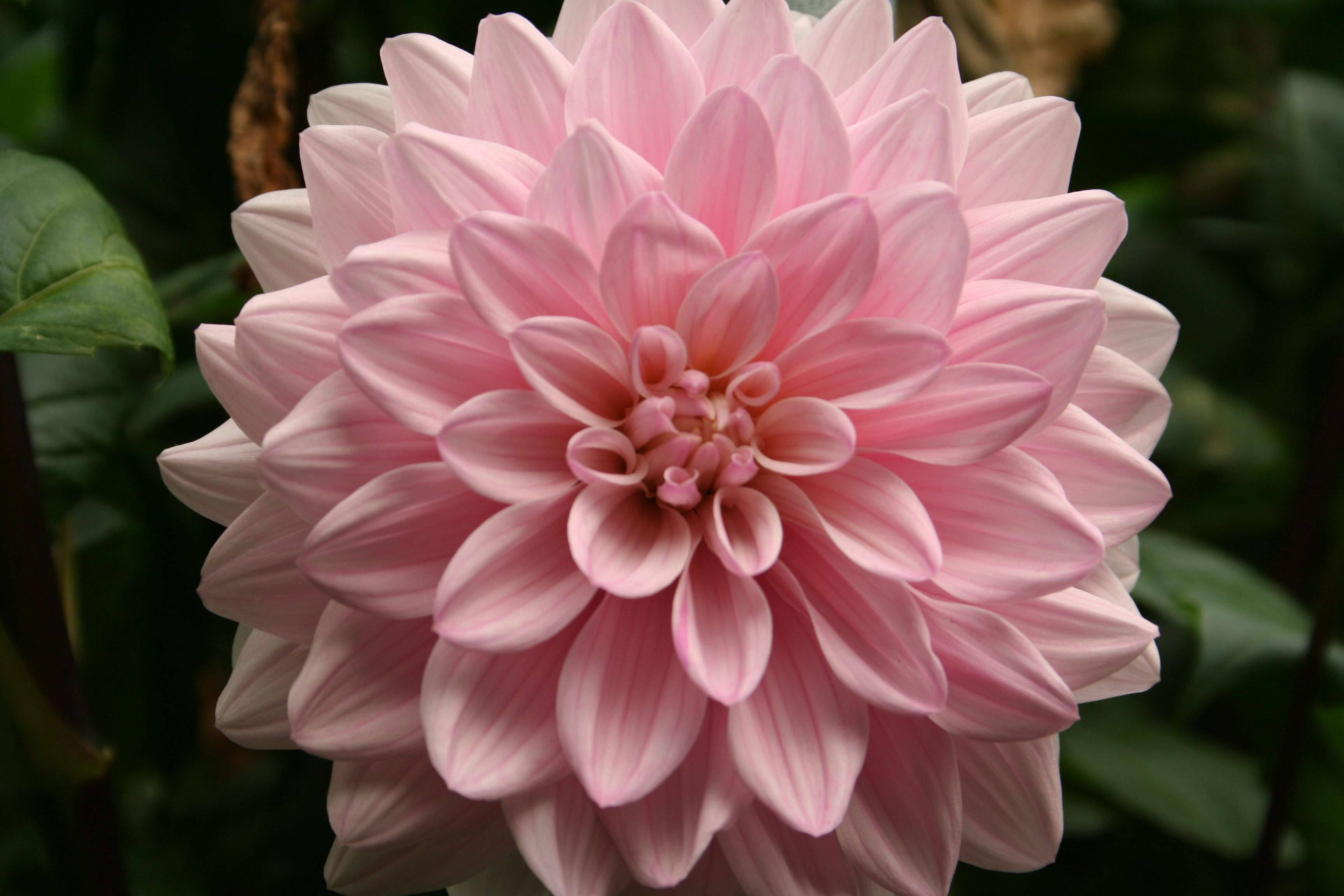 Soft Pink Dahlia Pink Flowers Flowers Soft Pink