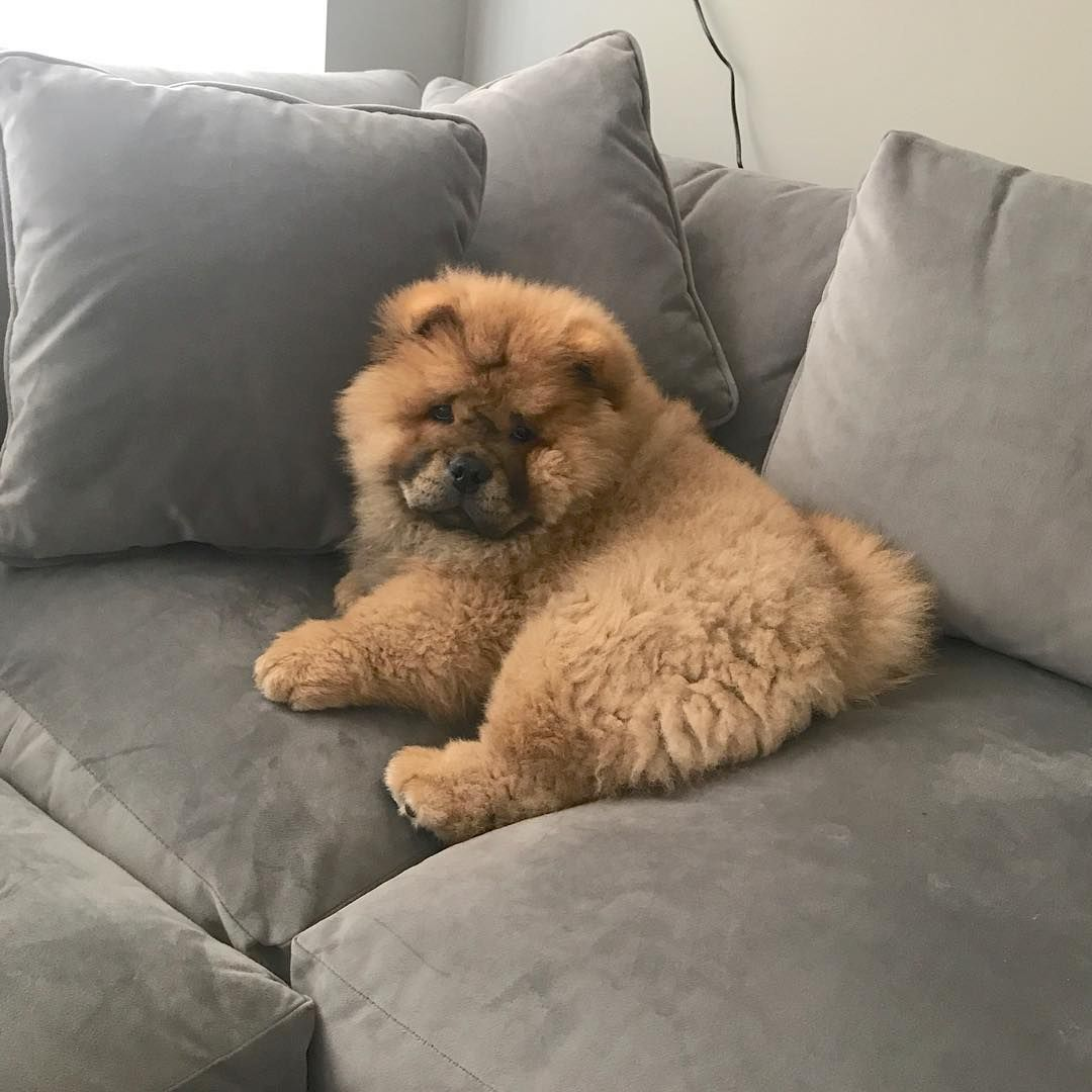 Pin On Chow Chow Love Beauty