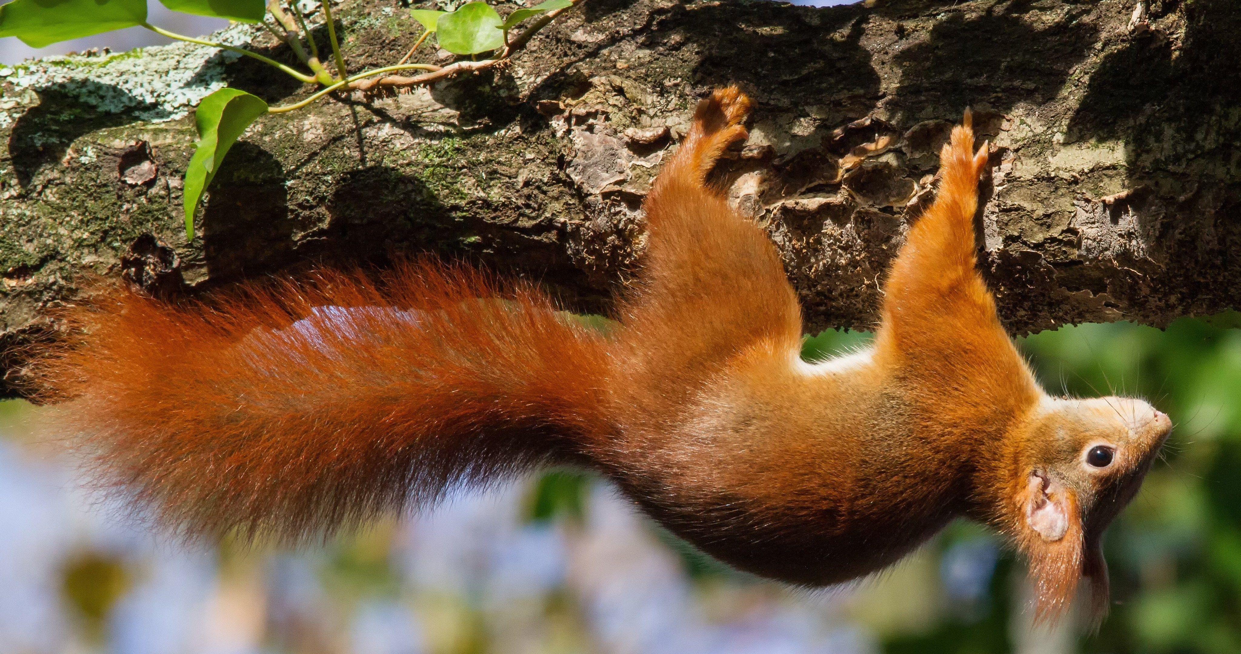 Squirrel animal on tree 4k ultra hd wallpaper ololoshenka - Ultra hd animal wallpapers ...