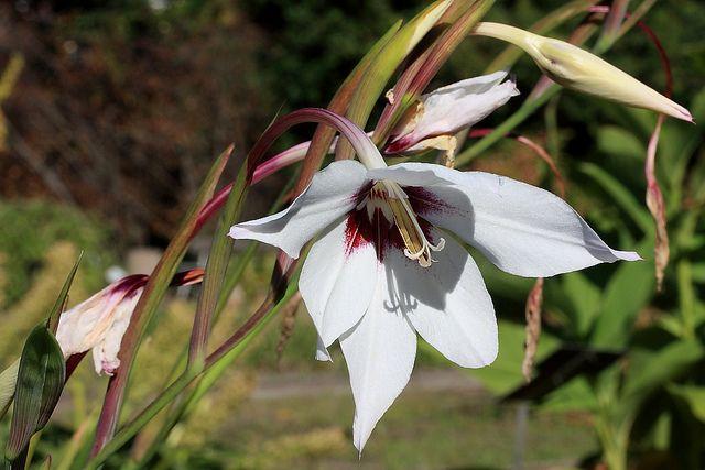 Gladiolas callianthus - Star gladiolas