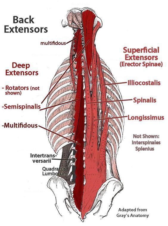 Erector Spinea Muscles Secrospinalis Anatomy Diagrams