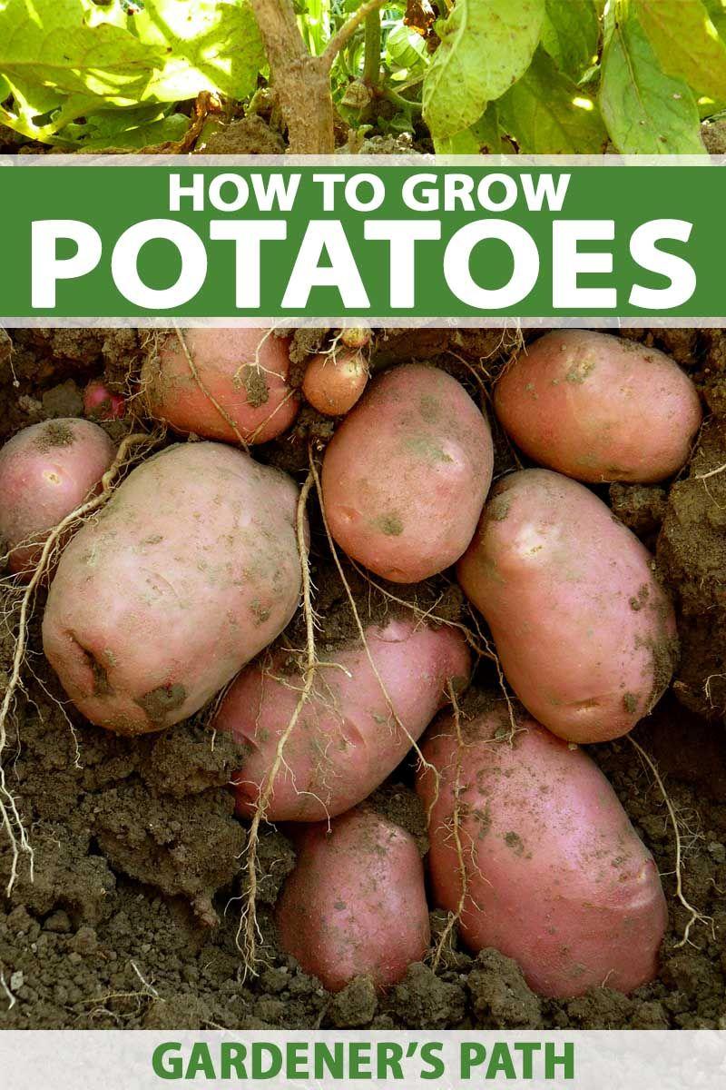 How to grow potatoes organic gardening tips growing