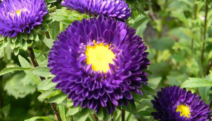 Purple Aster-Summer