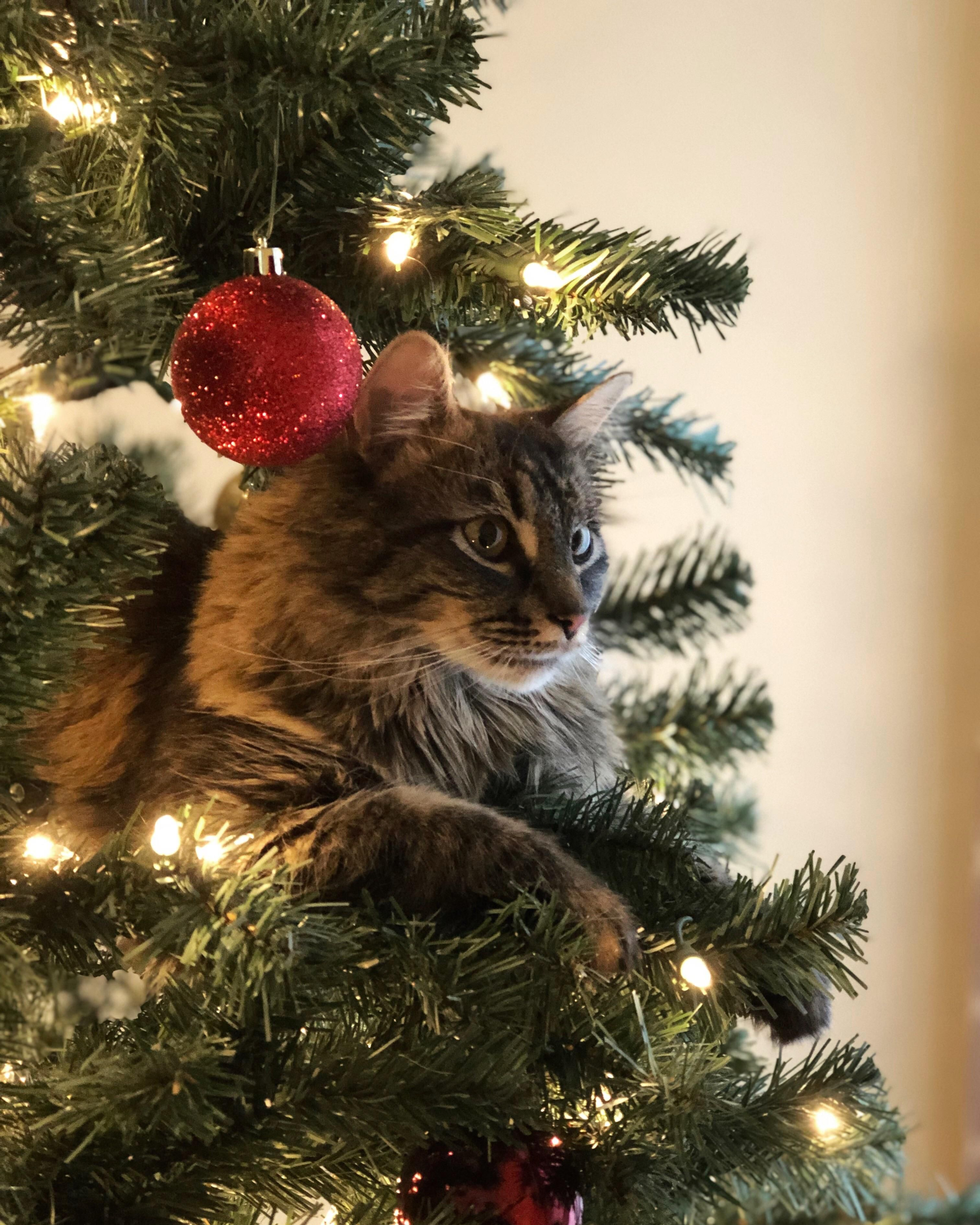 Shes Rotten But Also Incredibly Photogenic Check Our Pawsome Store If You Love Cats Www Kawaiikitty Co Follow Us F Christmas Cats Cat Having Kittens Cats