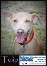 Adopt Tulip A Lovely 6 Months 17 Days Dog Available For Adoption At Petango Com Tulip Is A Whippet Mix And Is Available At The Pasc Rescue Dogs Pets Dogs