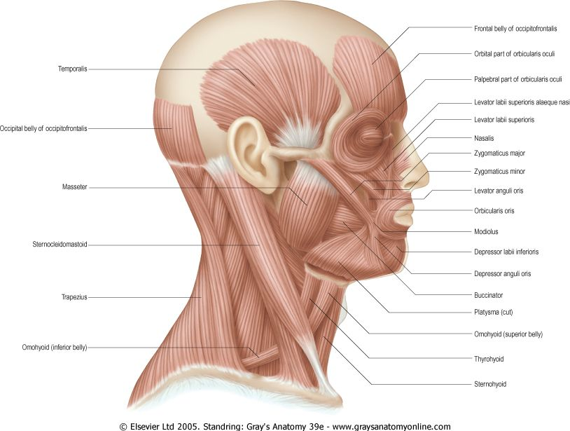f4cdbdf6d5fc54480f6dbe2b8175b8fa head and neck muscles anatomy you need to know what is inside