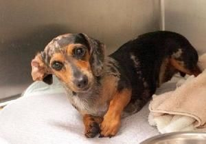 Chloe Is An Adoptable Dachshund Dog In Mckinney Tx We Do Not Have A Facility To House The Dogs In Our Pro Dapple Dachshund Adoptable Dachshund Dog Doxie Dogs