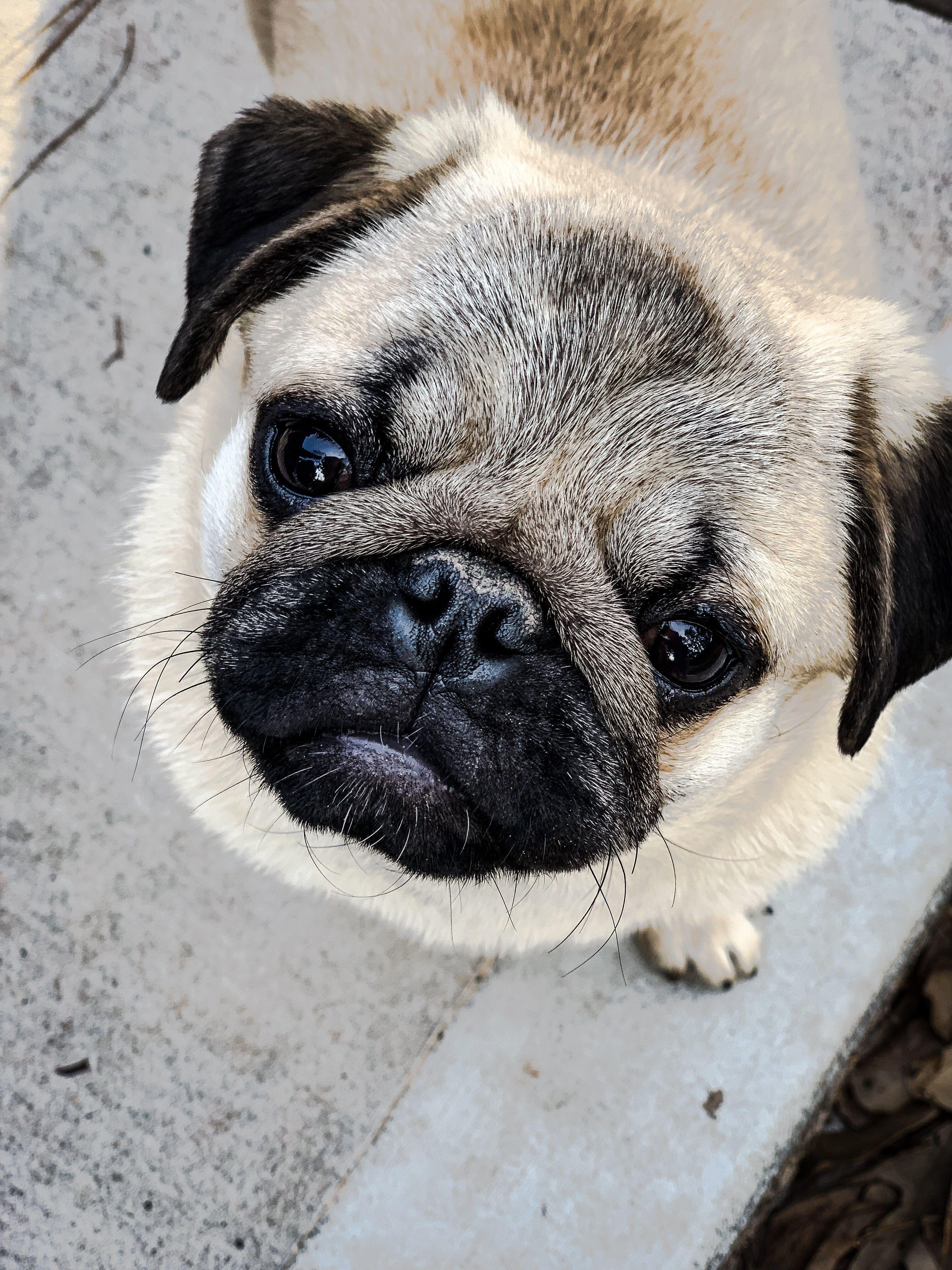 Baby Pugs Image By Nana Covington On Pugs Pugs And More Pugs