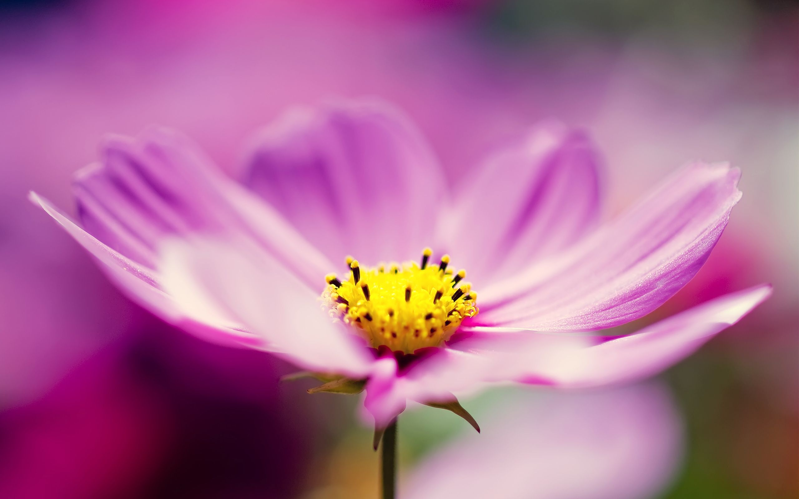 Colorful Cosmos Flowers Wallpaper Cosmos Flowers Hd Flower Wallpaper Purple Flowers Wallpaper