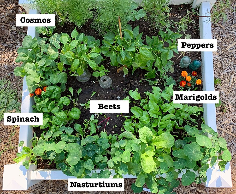A Square Foot Gardening Plan That Actually Works In Real Life Cosmos Peppers Marigolds B Square Foot