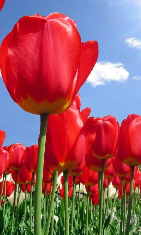 Mobile Legends Live Wallpaper Download Di 2020 Bunga Tulip Bunga Wallpaper Bunga
