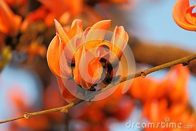 Closeup image of flowers. the flower blooms in the summer ... Palash Flower Wallpaper