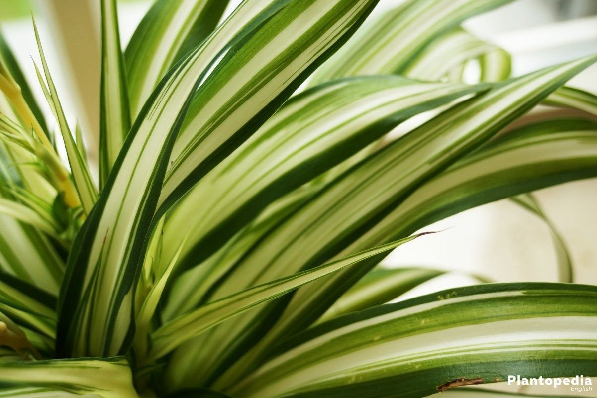 Chlorophytum comosum spider plant is a beautiful easycare indoor