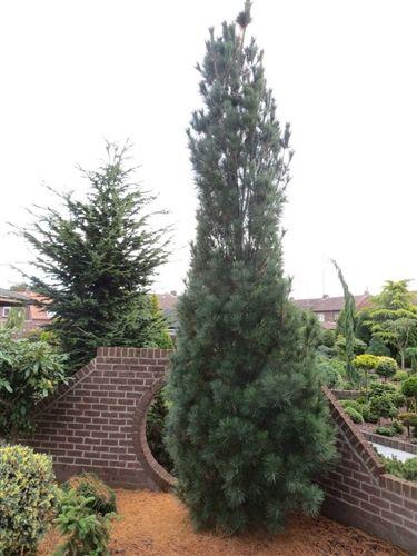 Pinus Strobus Stowe Pillar Conifer Kingdom