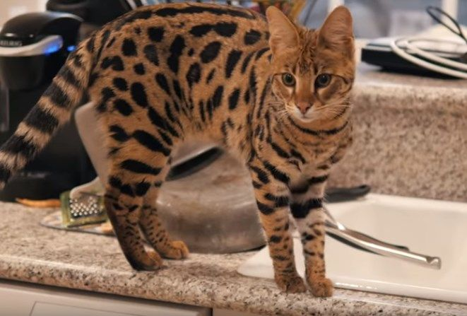 Savannah Cats For Sale Mn