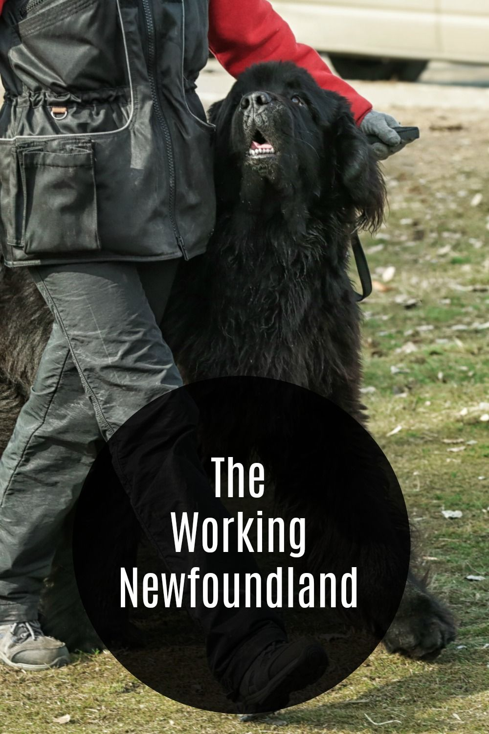 The Newfoundland is a strong, intelligent dog that is in the Working Group. Their desireness to please their owners makes them excel at many jobs that other dogs can not do. #newfoundlanddog #newfoundland #workingdog #dogs #pets #workingbreed #workinggroup #newf #bigdogs