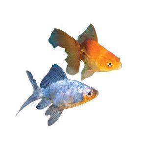 Fantail goldfish assorted petsmart aquarium for What fish can live with goldfish