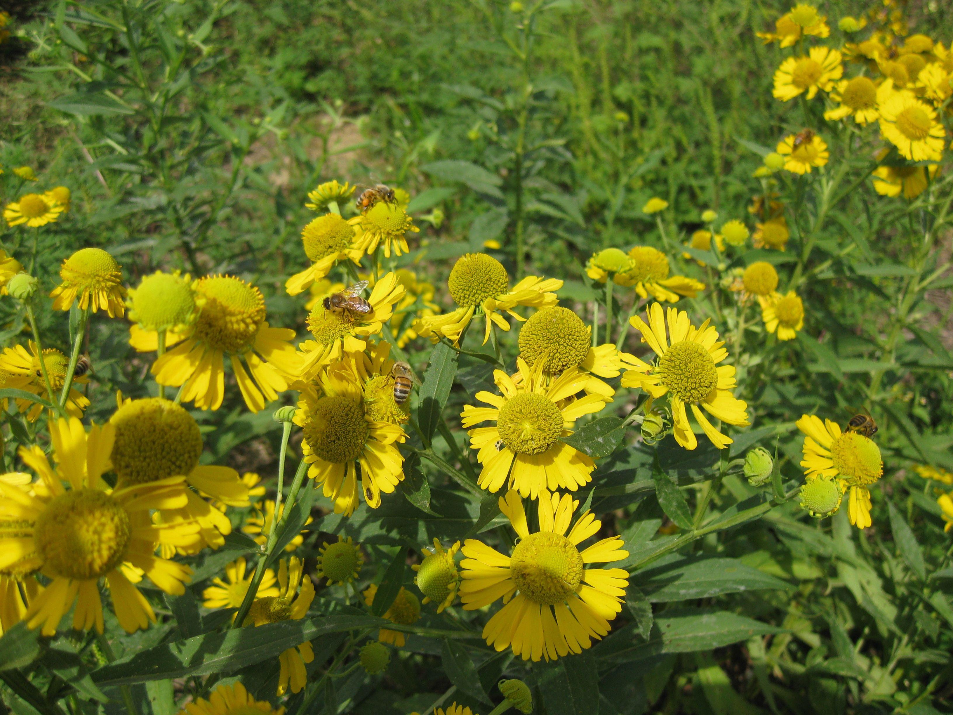 Helenium autumnale, Sneezeweed/Helen's Flower (FACW