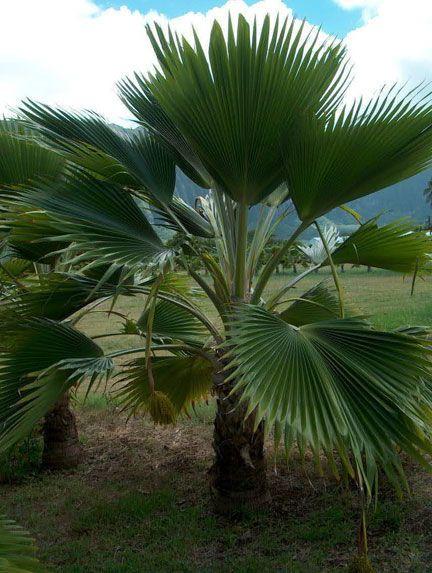 Fiji Fan Palm Fiji Fan Palm Is A Beautiful Medium Sized Quick