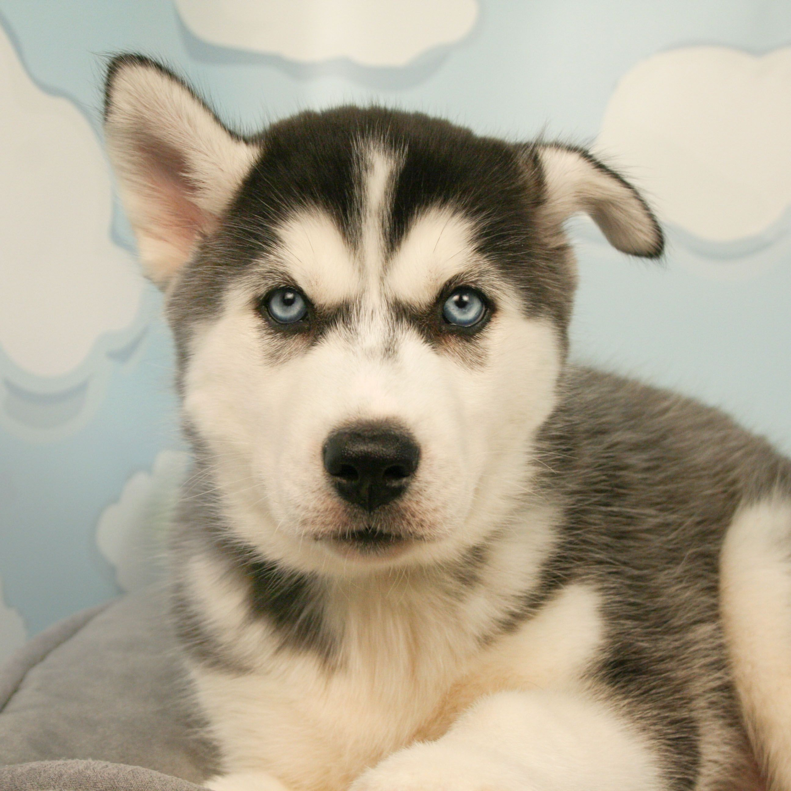 There Is Nothing Like The Eyes On A Husky This Beautiful Pup Will