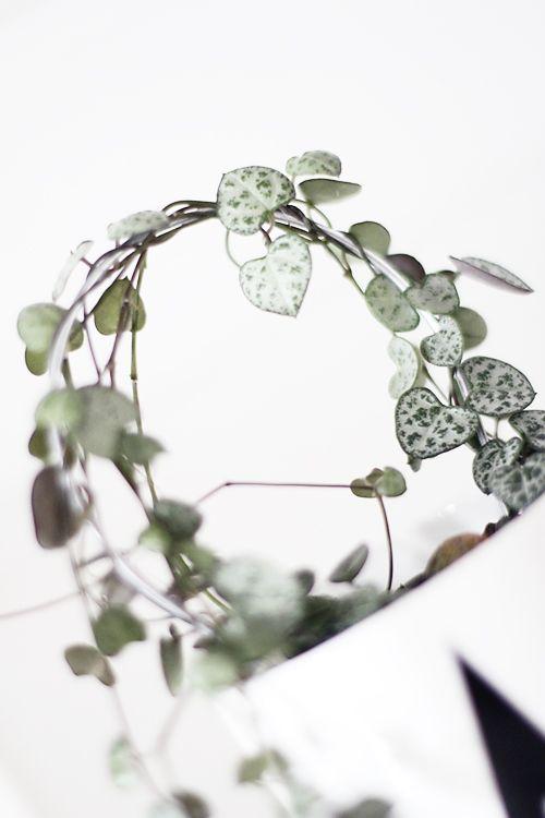 chaine des c urs c rop gia de toute beaut plantes d 39 int rieur pinterest chaine le. Black Bedroom Furniture Sets. Home Design Ideas
