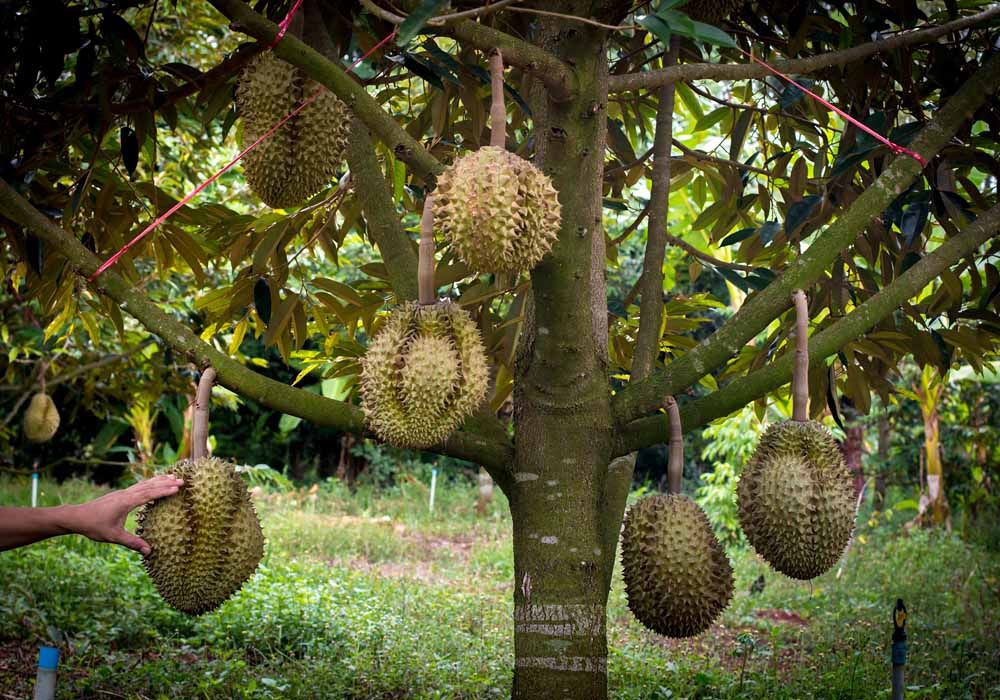 stage 3 big and ripe durians growing from the tree