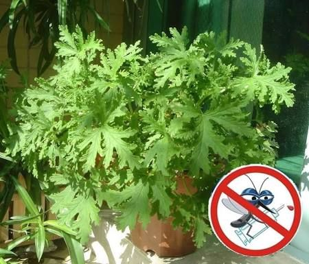 Citronella Plant Home Depot Google Search Bonsai Plants
