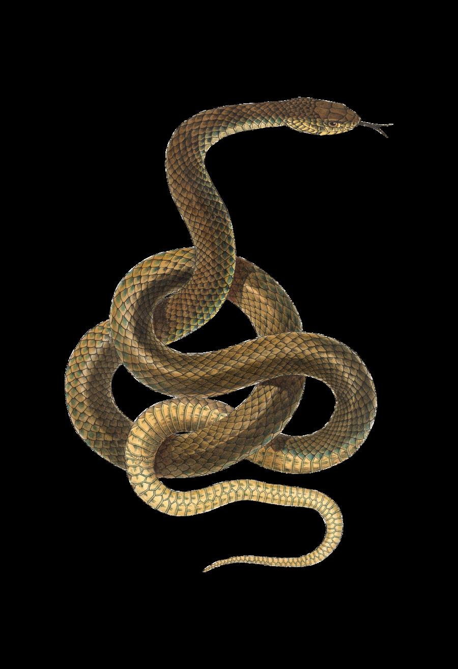 Google Image Result For Http Www Pngmart Com Files 6 Snake Png Transparent Png Snake Drawing Snake Patterns Snake Illustration