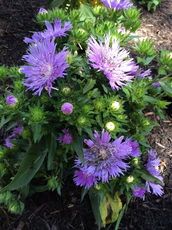 Stokes Aster Stokesia Laevis This Looks Like Stokesia Which Grows 2 Ft Tall And 1 1 2 Ft Wide It S Perennial Flowers Perennials Beautiful Gardens Plants