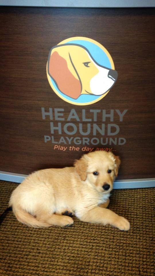 Buckley 7 Week Old Golden Retriever Puppy From Herndon Va Too