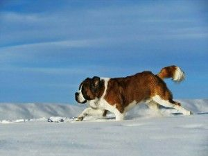 St Bernard - We rescued one once and he was wonderful but our pug drove him crazy so we had to find him a new home!