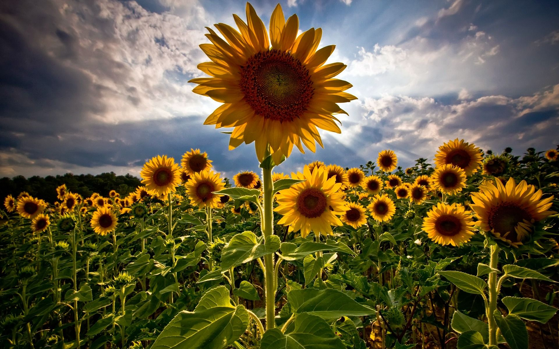 Super Awesomely Hi Res Pic Of Sunflowers Makes A Good Desktop Wallpaper Flower Background Images Sunflower Wallpaper Flower Wallpaper