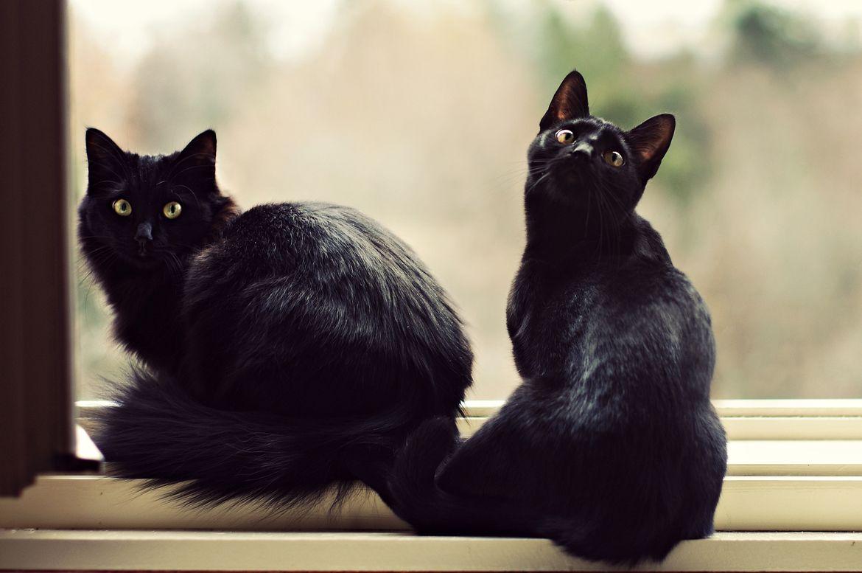 Black Cats Vanessa Viki Black Cat Appreciation Day Black Cat Cat Photo