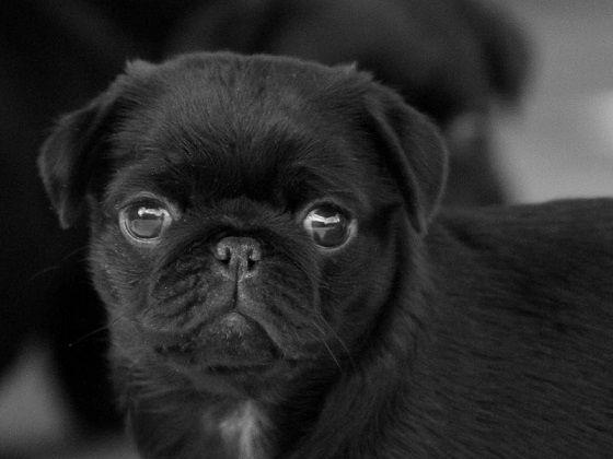 Cute Black Pug Puppy |...