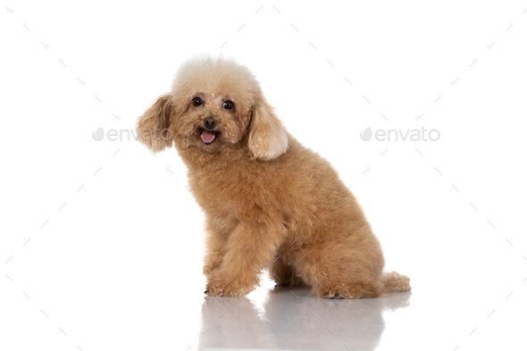 miniature poodle dog isolated by odua portrait of miniature poodle dog isolated on white background