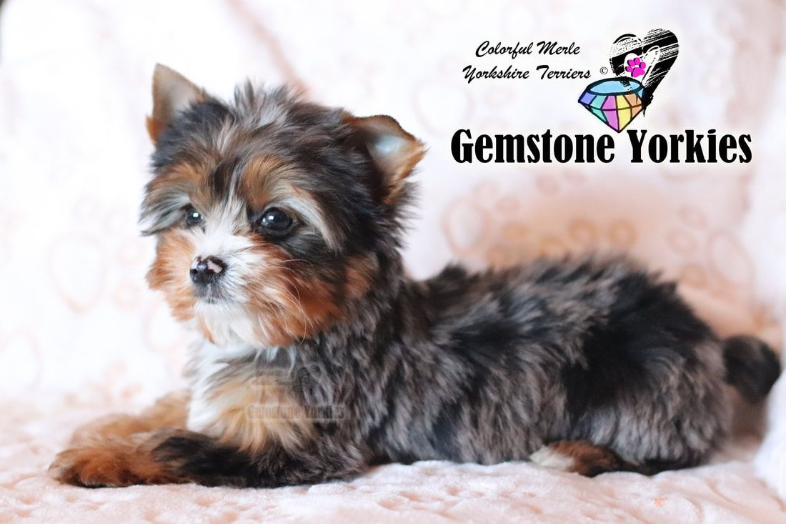 Pin On Types Of Yorkie Colors Traditional Exotic Coats