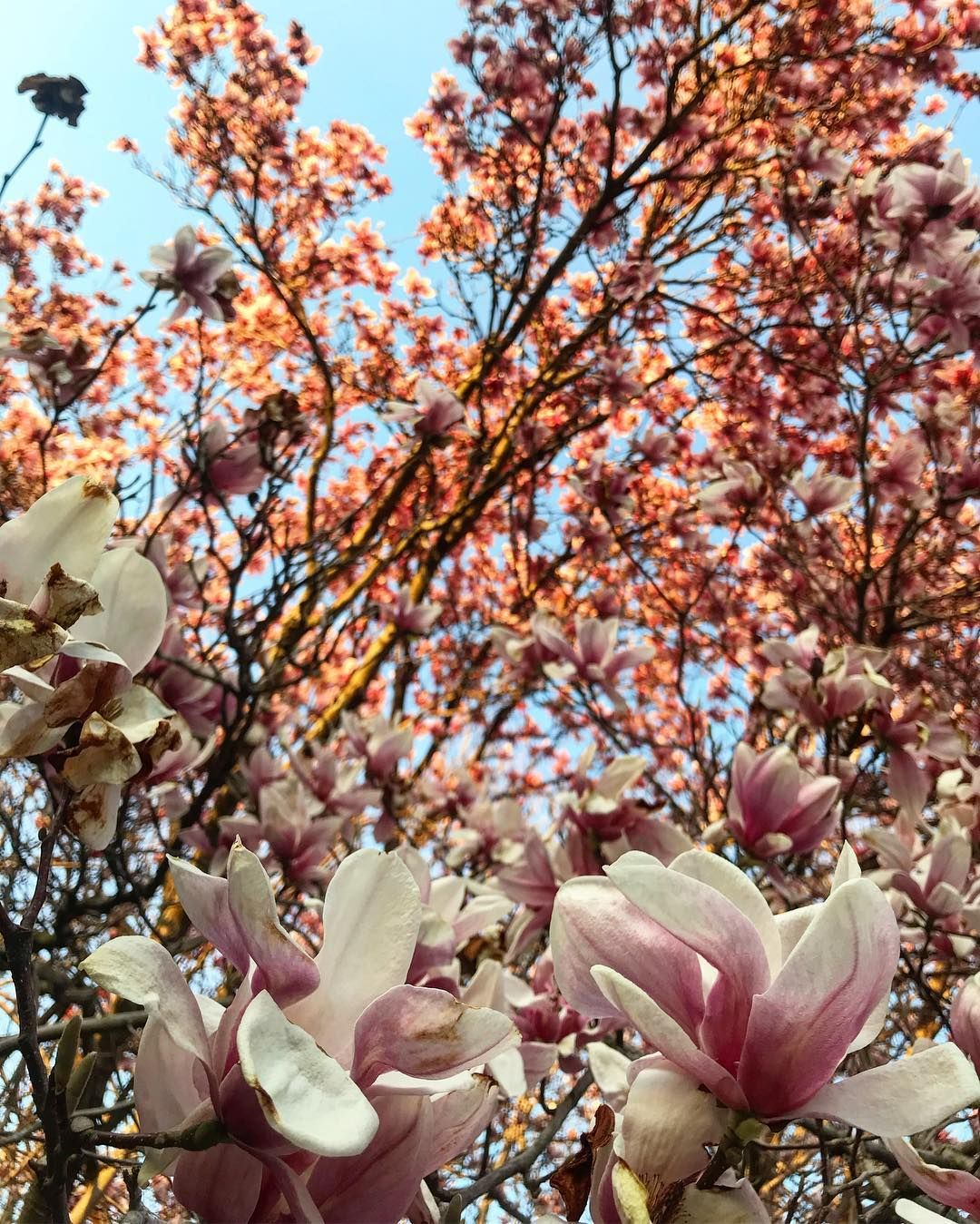 This Magnolia Tree Was Ablaze In The Setting Sun They Are One Of My