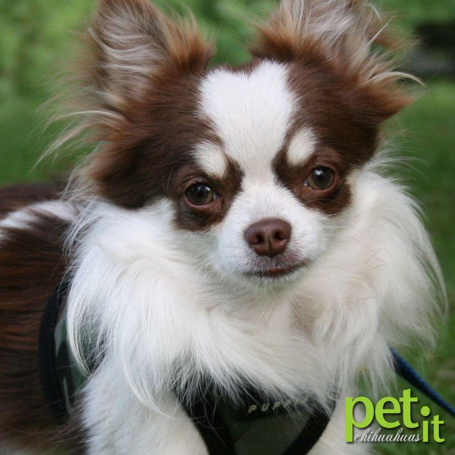 Petit Chihuahuas Cute Chihuahua Chihuahua Chihuahua Breeders