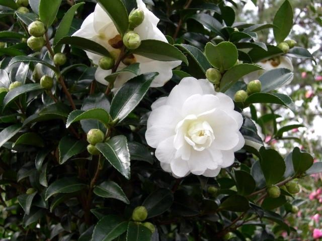 Camellia Hiemalis Green S99 006 October Magic Bride Pp 20539 Camellia Plant Plants For Small Gardens Plants