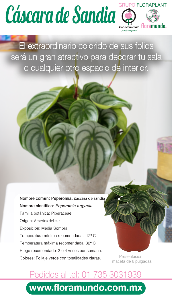 Peperomia Cascara De Sandia Plantas Ornamentales De Sol Cultivo De Plantas Jardineria Y Plantas