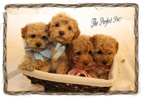 CKC Toy Poodle Puppies | Aww!PuppyFever! | Toy poodle
