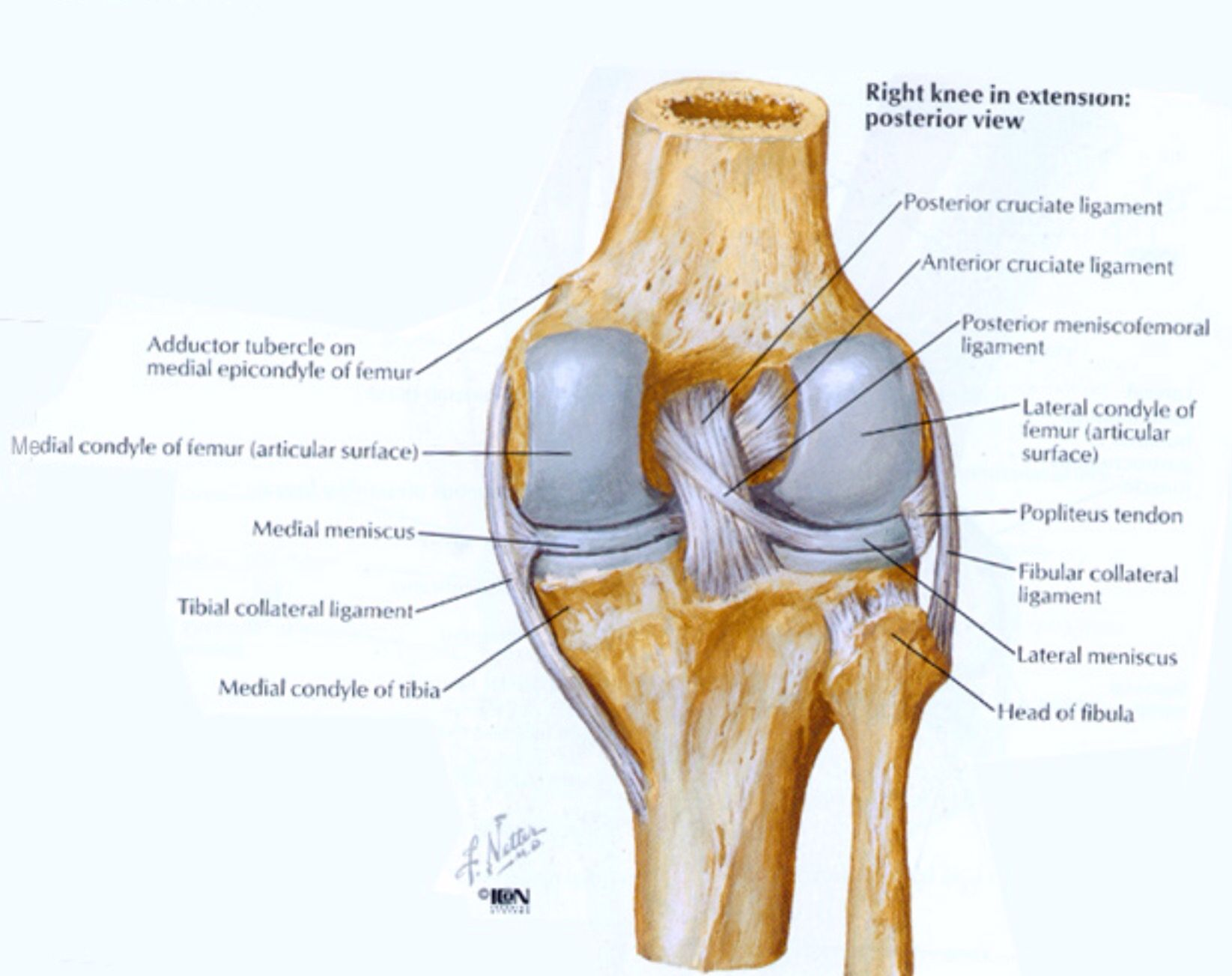 Knee Diagrams Anatomy Of A Trailer Light Wiring Kit Walmart Posterior View The Pinterest