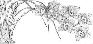 Resultado De Imagen Para Dibujos De Orquideas Para Pintar Orquideas Cymbidium Orquideas Orquidea